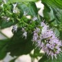 781px-Flowers_of_the_spearmint